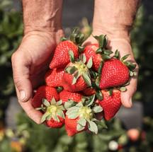 Ampliação do Viveiro Municipal permitirá distribuição de 235 mil mudas de morango em 2022