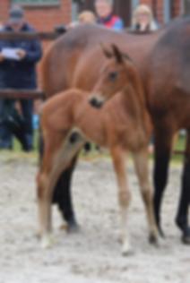 Distelzarin 2019 mit Fohlen v Kentucky (