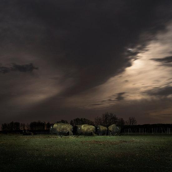 Buffalo Under Moonlight
