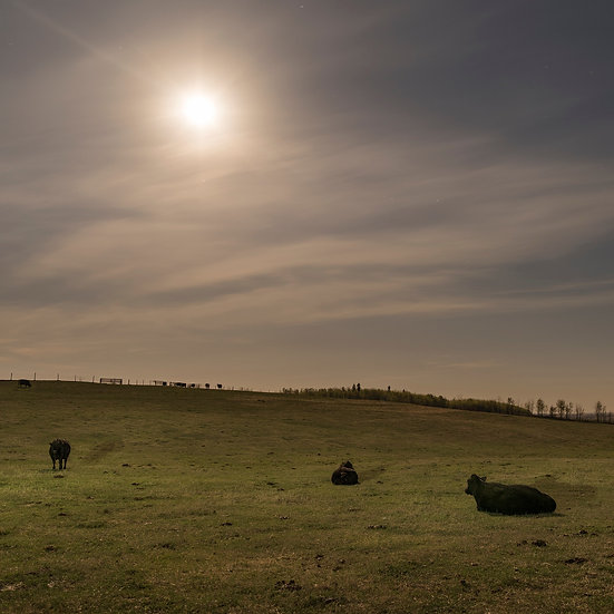 Calving Cows Under Moonlight
