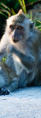 Groupement de singe...
