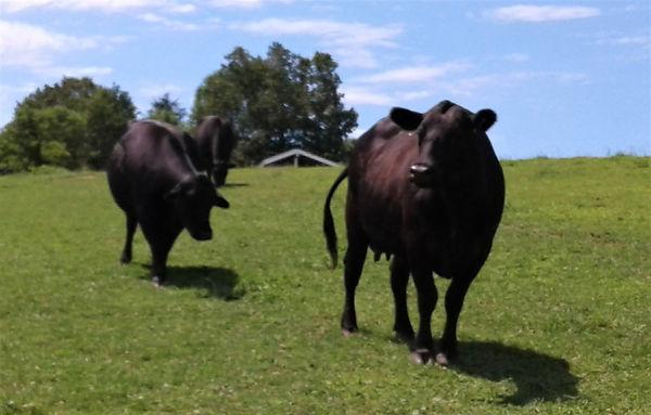 cows on a hill.jpg