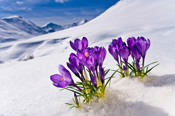 flowers-in-snow.jpg