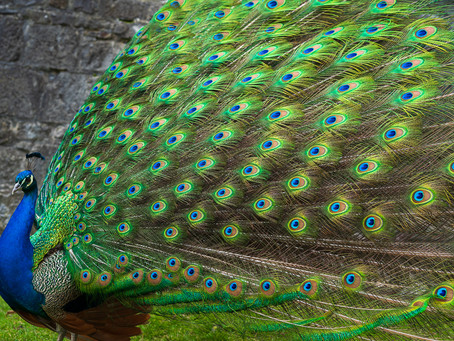 The Peacock at Floreffe Abbey