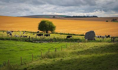 cows-grazing-near-prehistoric-standing-s