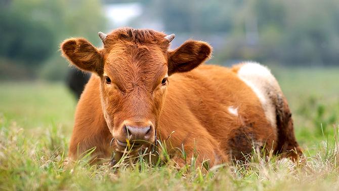 brown-milk-cow-grazing-green-grass-farm-