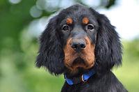 Gordon Setter puppy in the summer.jpg