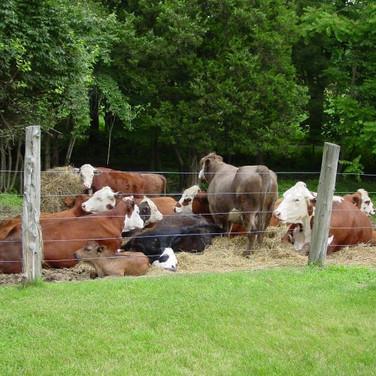 Cow pile.jpg