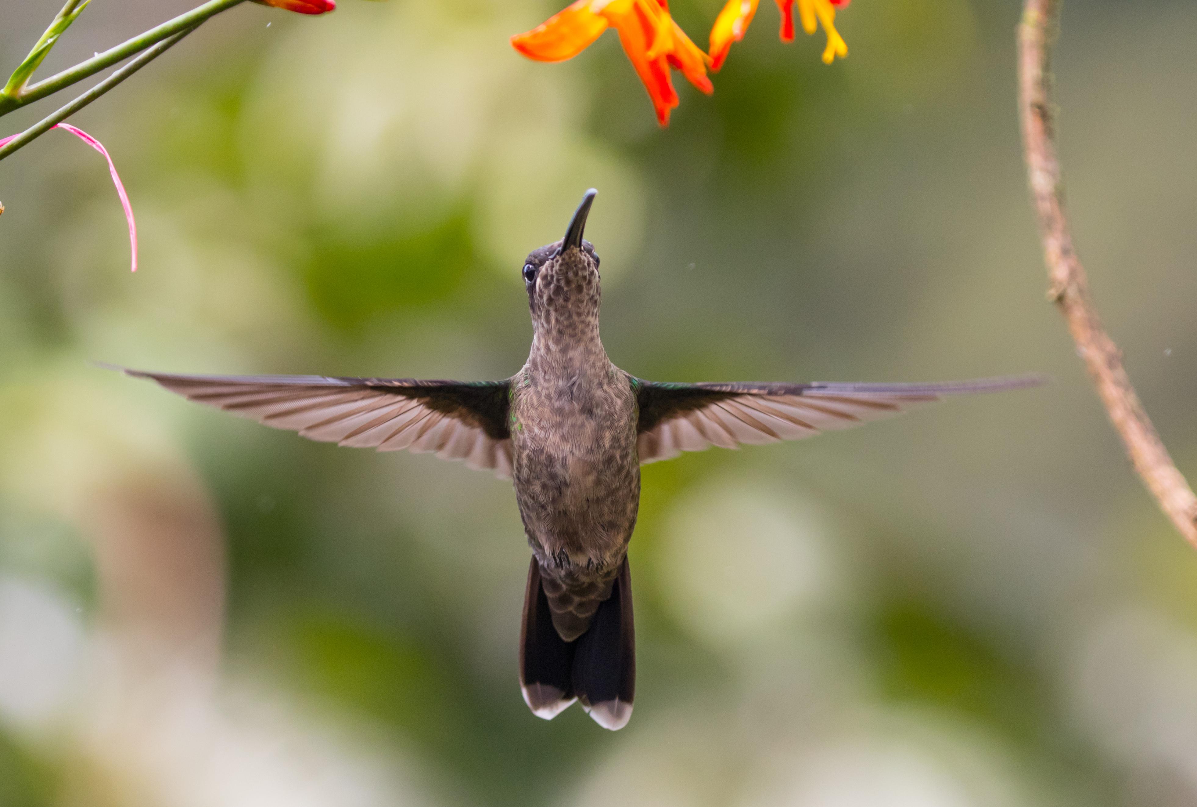 Magnificent Hummingbird. Photo Alex Aria