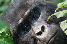 gorilla1.jpg