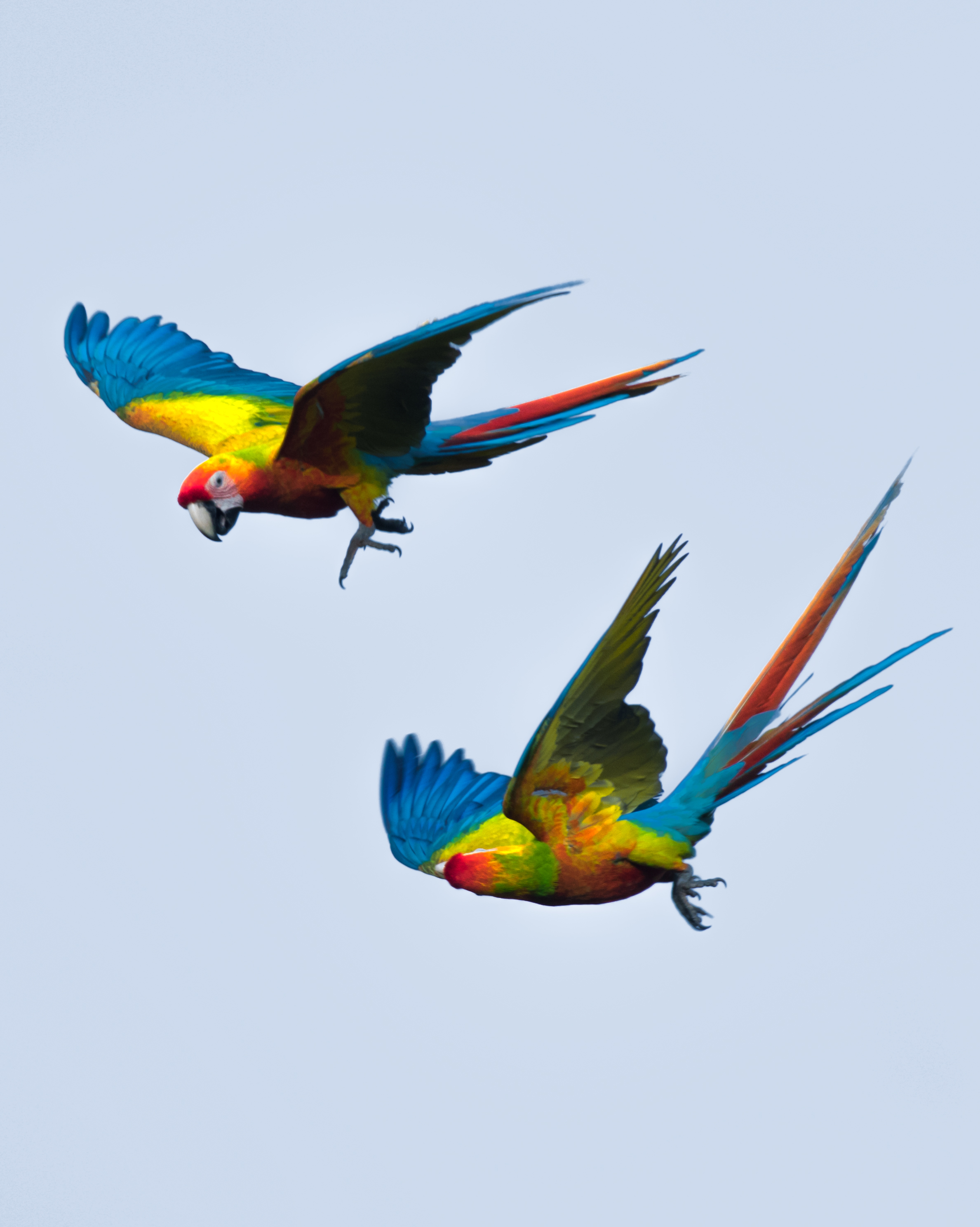 Macaws. Photo Alex Arias. #2.jpg