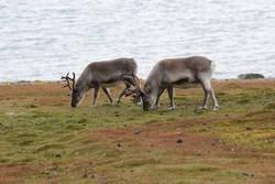 OWE_reindeer.jpeg