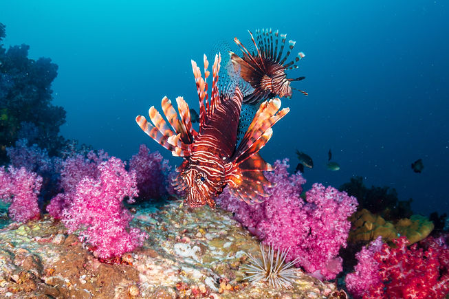 Colorful Lionfish patrolling a tropical