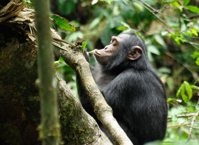 Chimp_kabale1.jpg