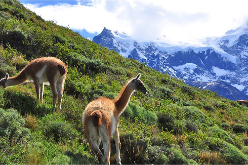 Guanacos_in_Torres_del_Paine_National_Pa