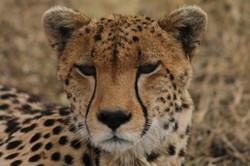 kenya-plan-safari-jaguar.jpg