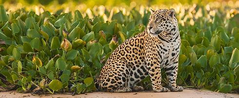 Pantanal Jag Cub horz-1.jpg