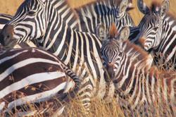 Kenya-safari-travel-Zebras.jpg