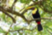 Yellow-throated Toucan. Photo Alex Arias