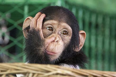 Chimpanzee face.jpg