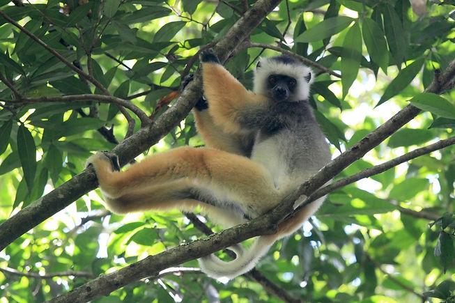 Madagascar Sifaka.jpg
