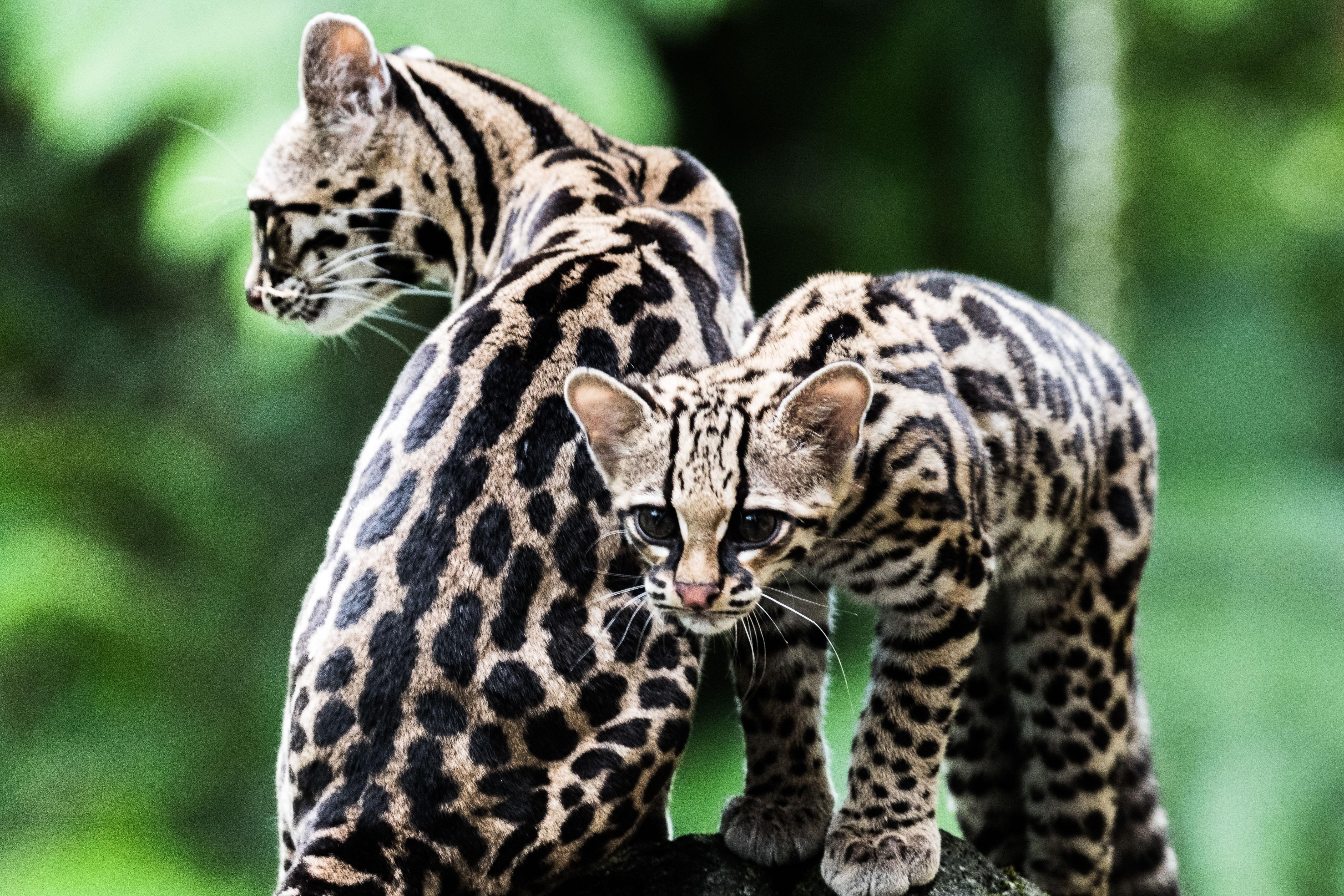Tropical cat. Photo Alex Arias.jpg