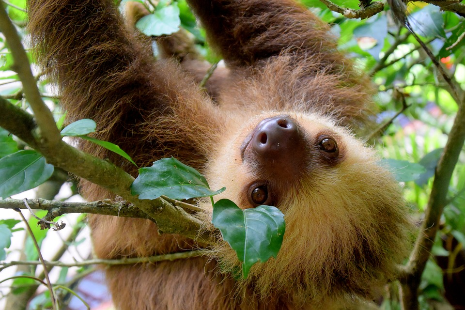 Costa Rica Sloth.jpg