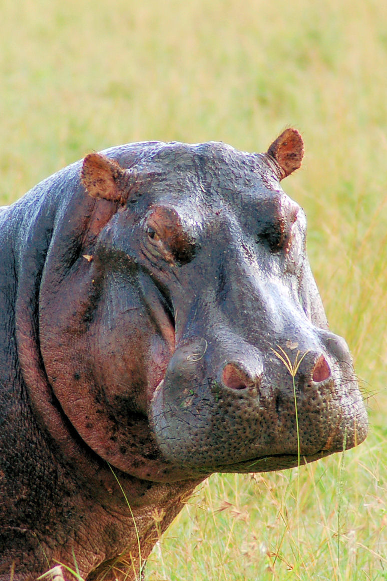 Kenya-travel-Hippo.JPG