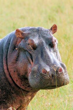 Kenya-travel-Hippo.JPG