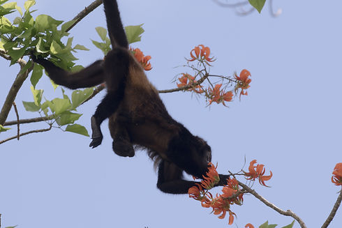 Howler Monkey. Photo Alex Arias..jpg