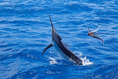 marlin on a lure.jpg