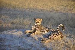 cheetahrock.jpg