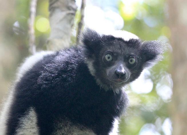 Madagascar Indri.jpg