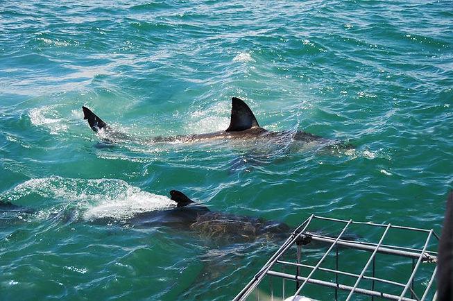 2x-great-white-sharks.jpg