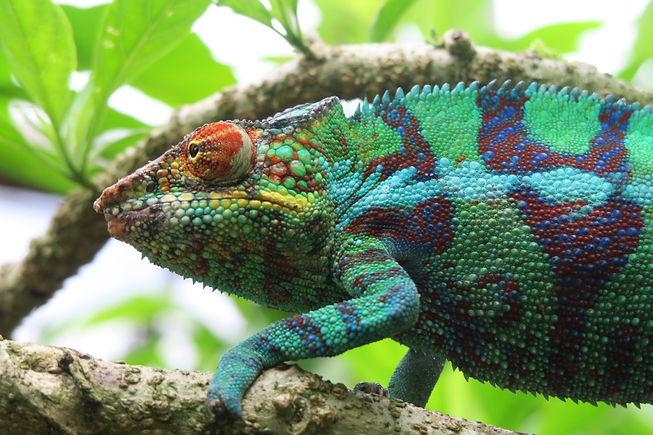 Madagascar Chameleon1.jpg