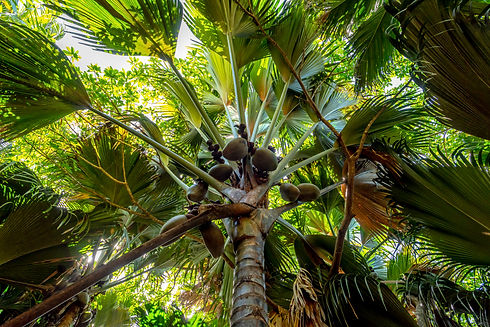 Coco de mer coconut tree in Vallée de Ma