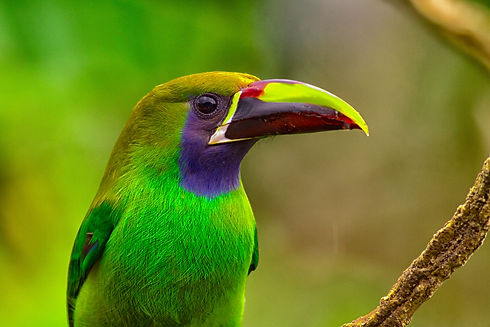 Emerald Toucanet. Photo Alex Arias.jpg