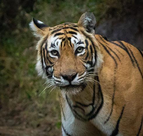 TigerRNP.JPG
