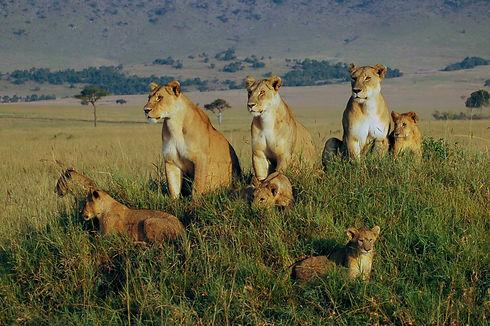 Kenya-adventure-safari-travel-lions.JPG