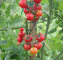 plants de tomates bio tomates cerises ro