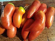plant de tomate bio cornue des Andes all