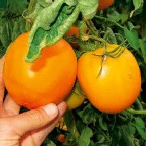 Orange à gros fruits