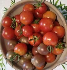 plant de tomates bio cocktail.jpg