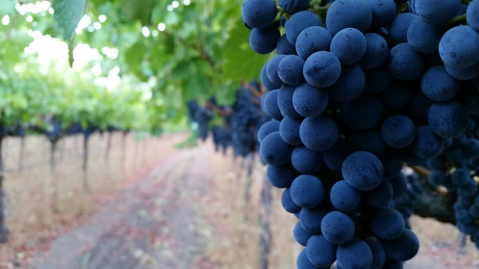 A cluster of blue grapes