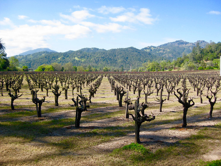 a view of our 100 year old Zinfandel vineyard.  About a thousand small tree stumps