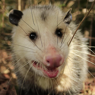 Opossums and Raccoons