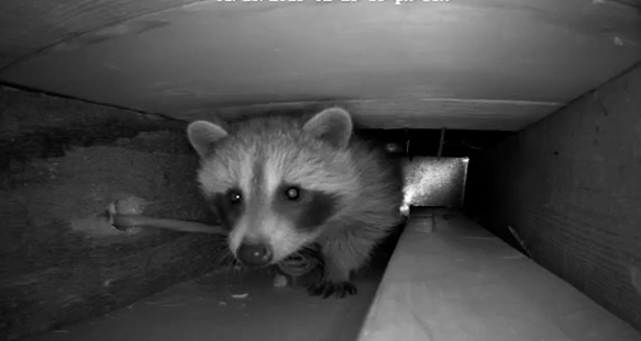 A Raccoon Story