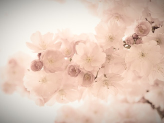 Kirschblütenworte