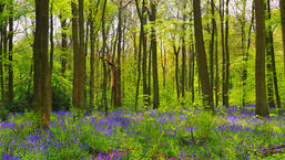 Bluebells in the Great Wood