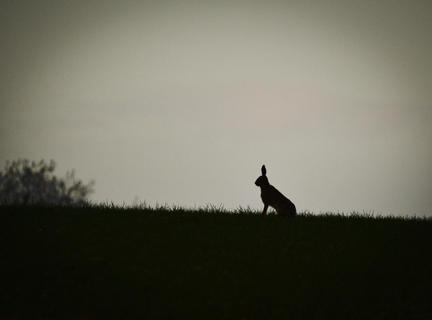 Hare silouette